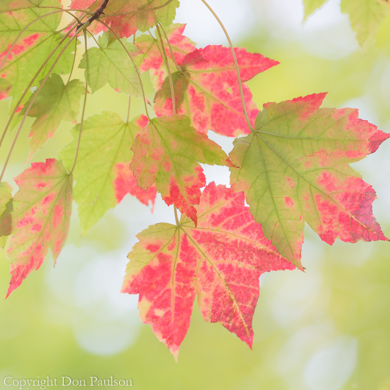 Maple Leaves, Deep Creek Trail, Great Smoky Mountains, North Carolina