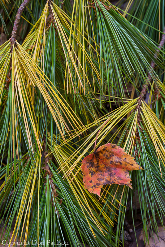 Pine bough and leaf, Tellico River, Cherokee National Forest, Tennessee