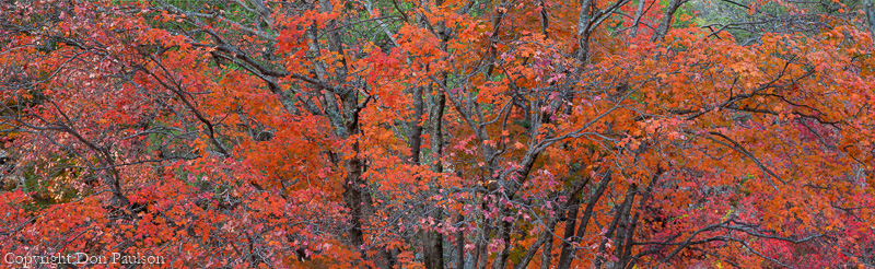 Bigtooth Maple (Acer grandidentatum), Guadalupe Mountains National Park, Texas - A multi-image, high resolution panorama. 12,573 Pixels long