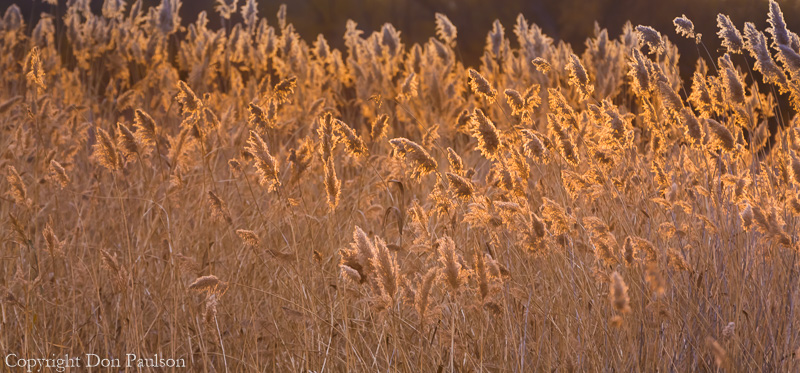 Backlit grasses, Bosque del Apache National Wildlife Refuge, New Mexico