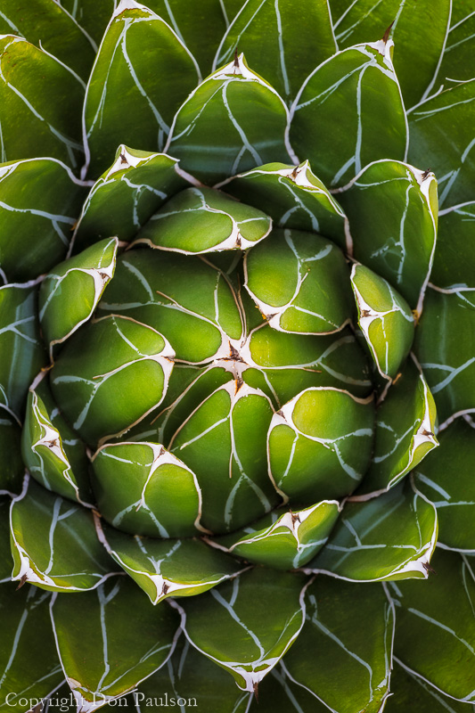 Queen Victoria agave, (Agave victoriae)