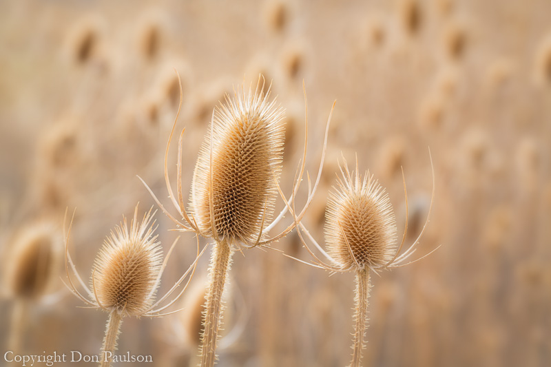 Field of Teasel, Malheur National Wildlife Refuge, Oregon
