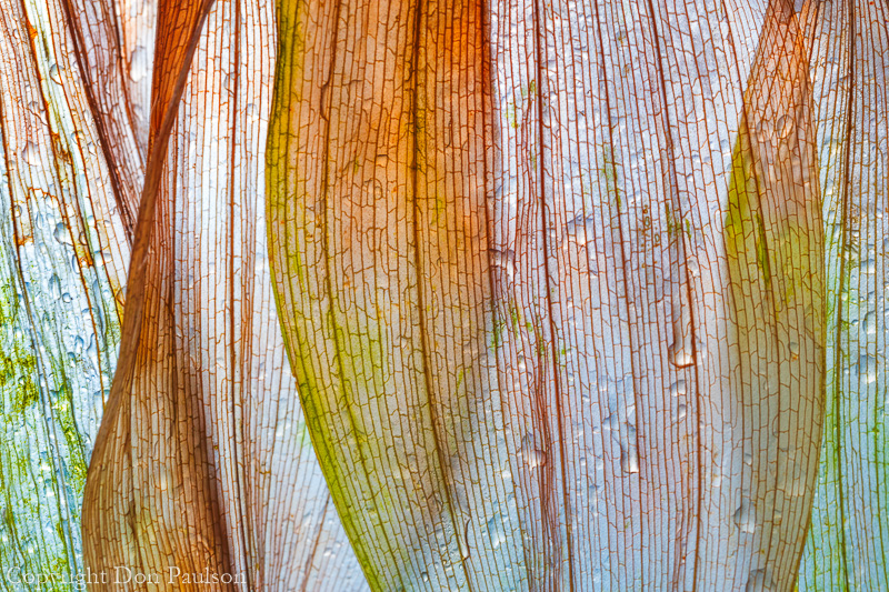 Leaves, false Solomon's seal (50.6 Megapixel).