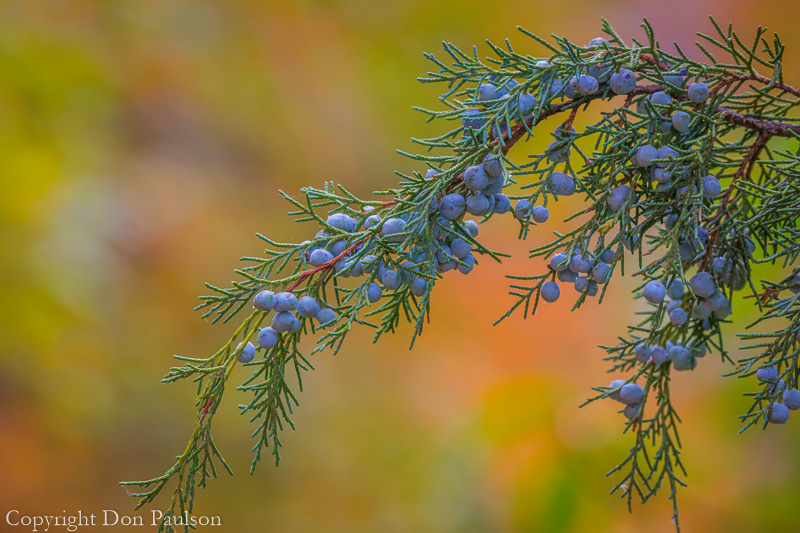 Juniper Branch with berries, Utah, Wasatch Cache National Forest