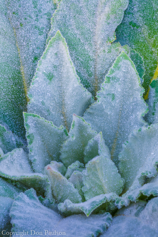 Mullein leaves - Utah, Wasatch Cache National Forest