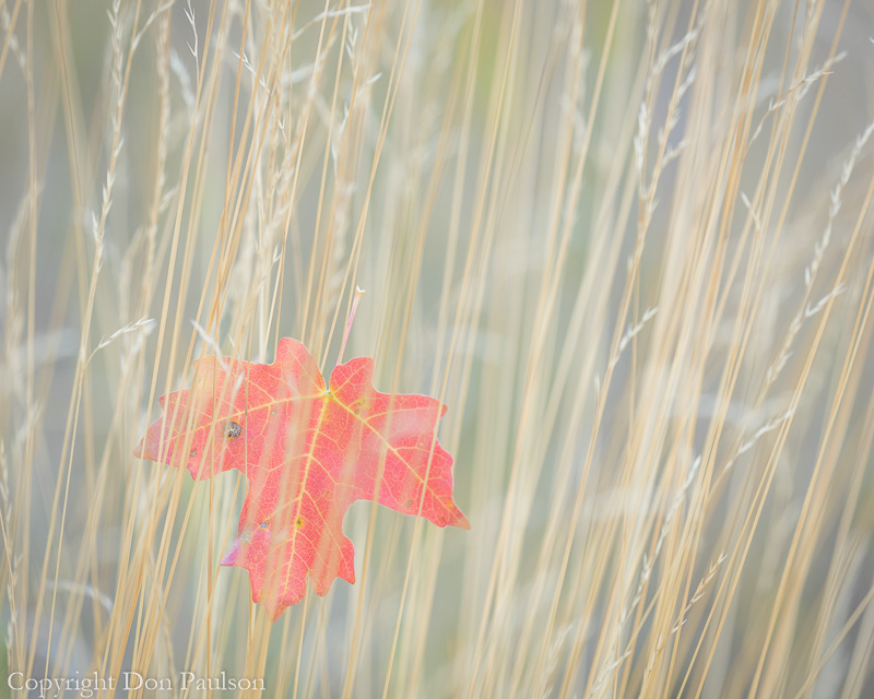 Maple leaf in fall grasses - Utah, Wasatch Cache National Forest