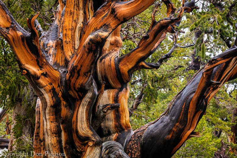Bristlecone Pine, Nevada, Great Basin National Park