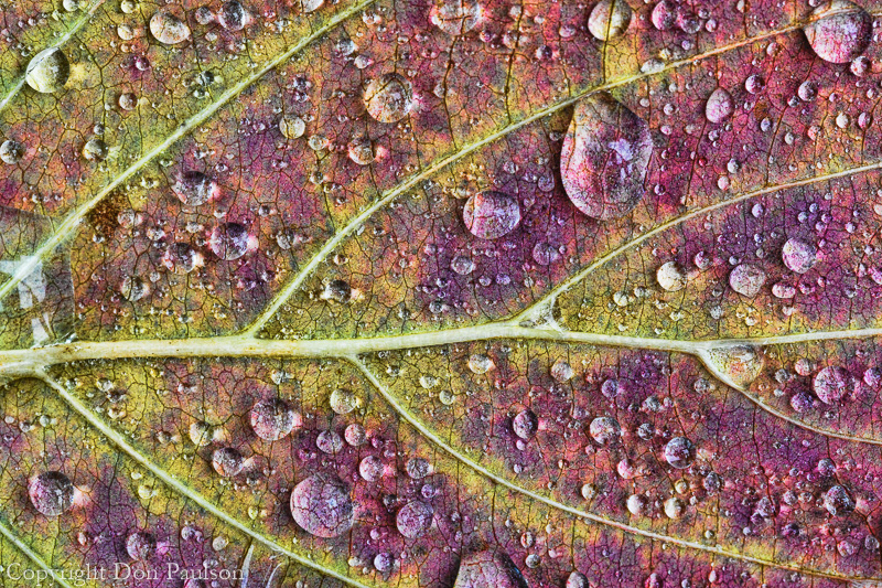 Rain drops on a dogwood leaf