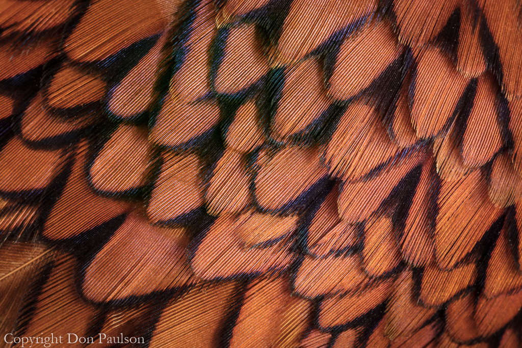 Pheasant Feathers - Photographed at 50.6 megapixels