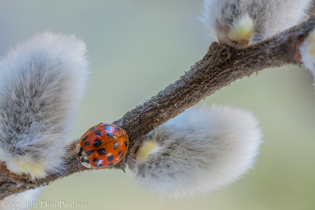 Pussy Willow and a Lady Bug