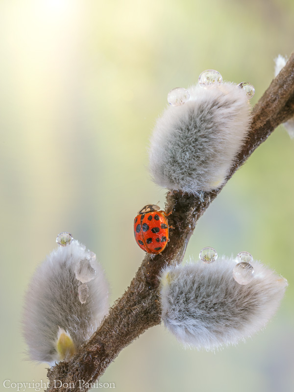 Lady bug on a Pussy Willow