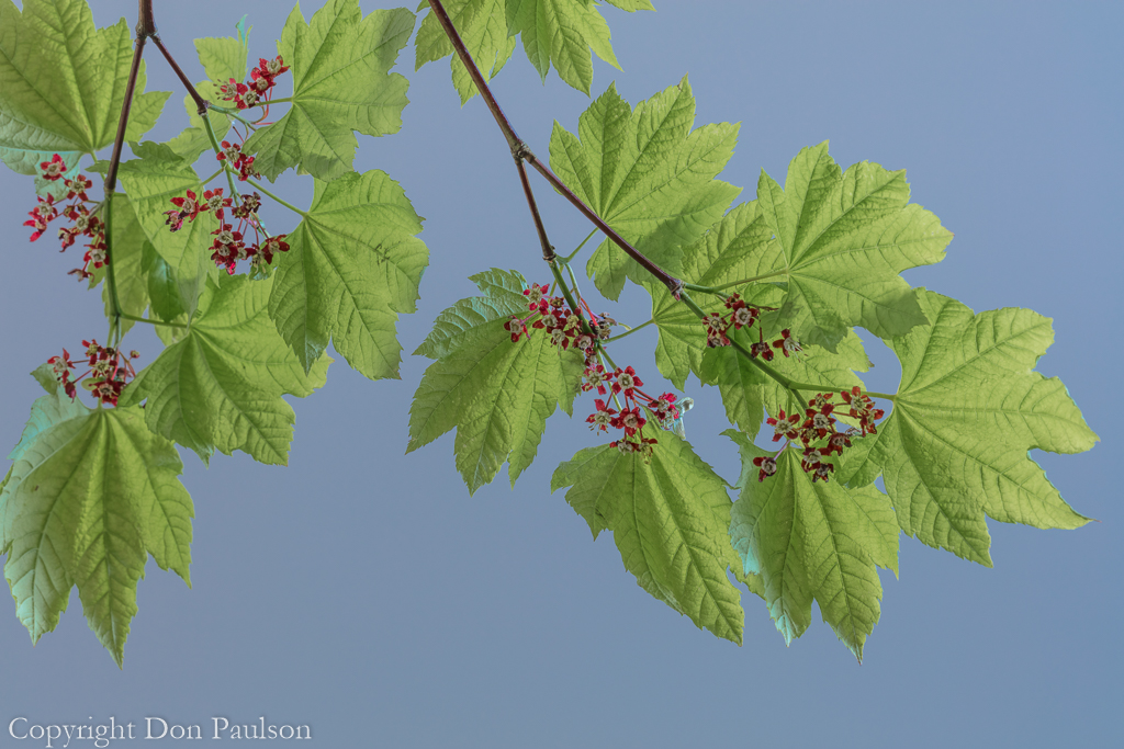 Vine Maple in bloom