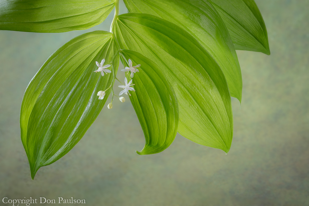 Starry Solomon's Seal - 50.6 mp