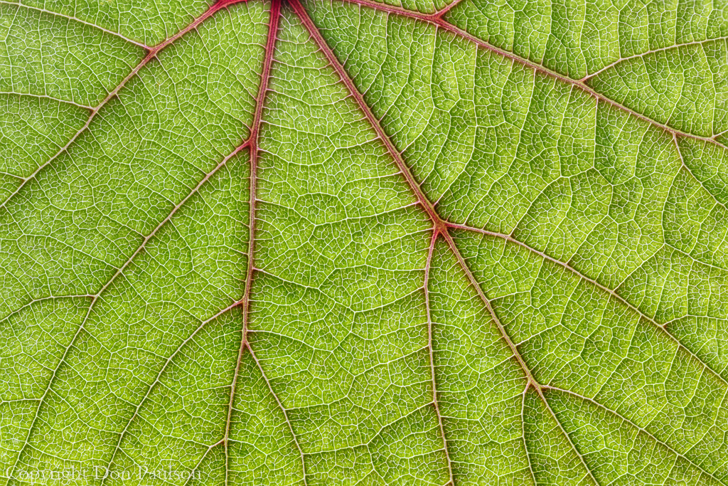 Grape Leaf close up.