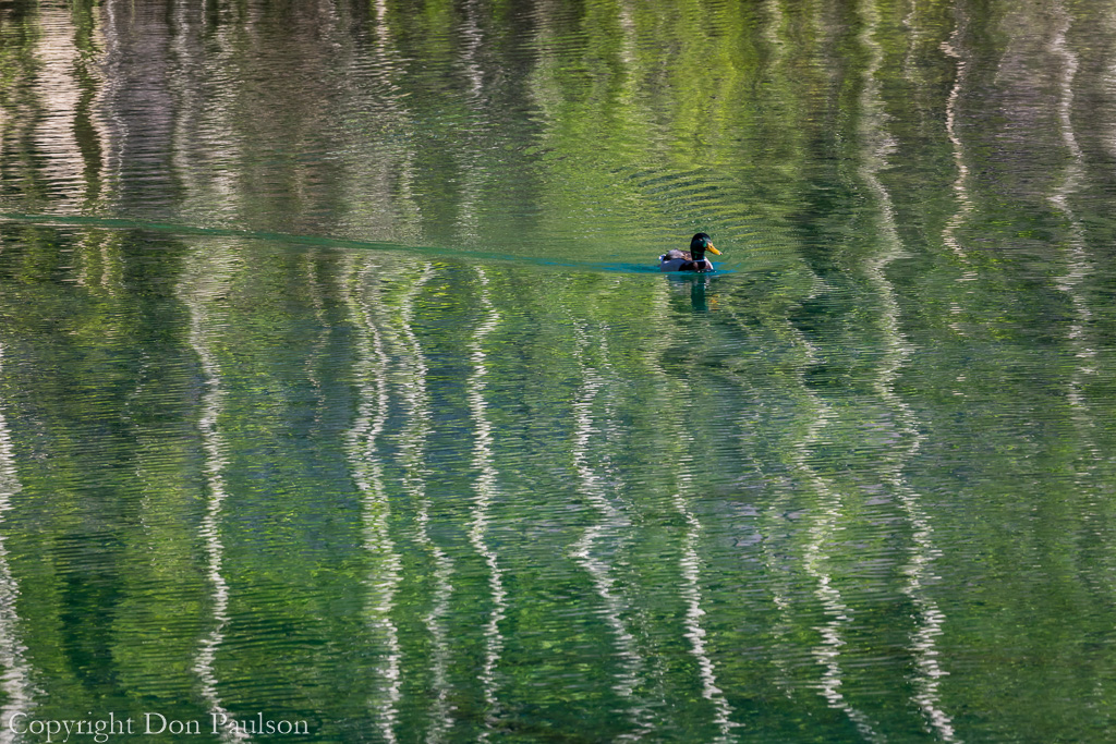 Mallard duck swiming through a reflection of alder trees