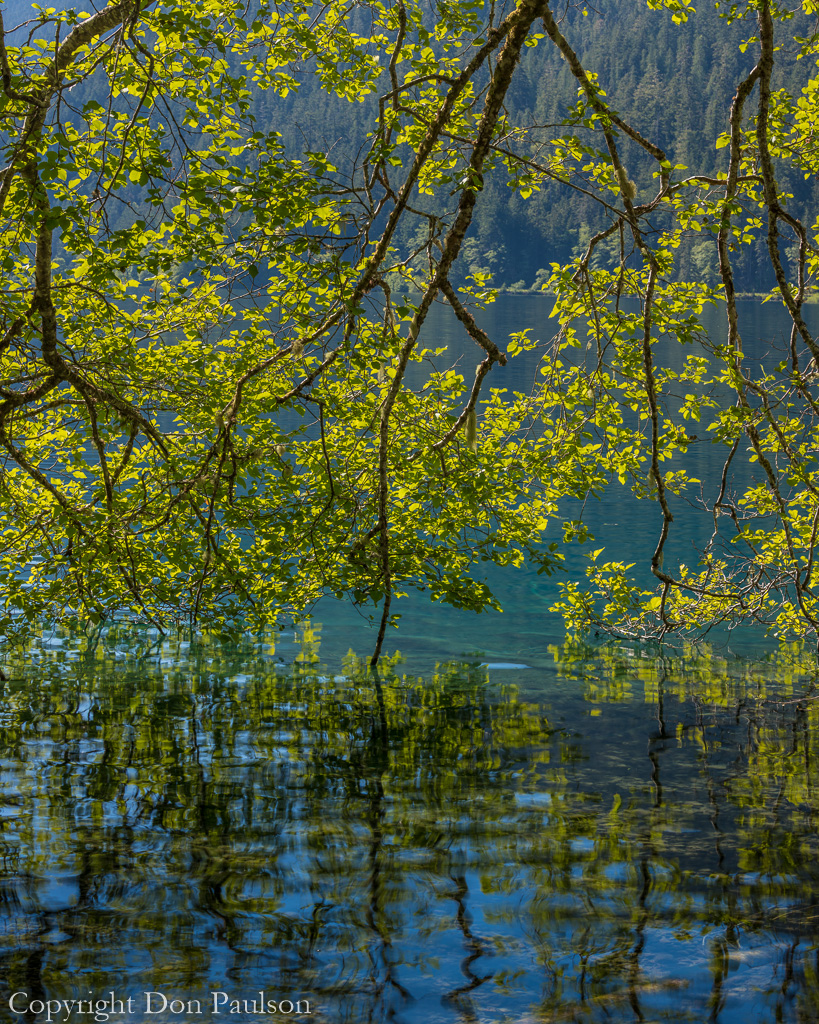 Alder tree over Lake - Olympic National Park, Lake Crescent.