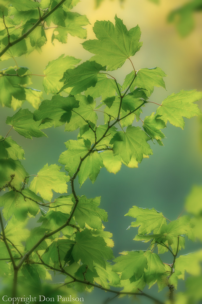 Vine maple leaves in summer