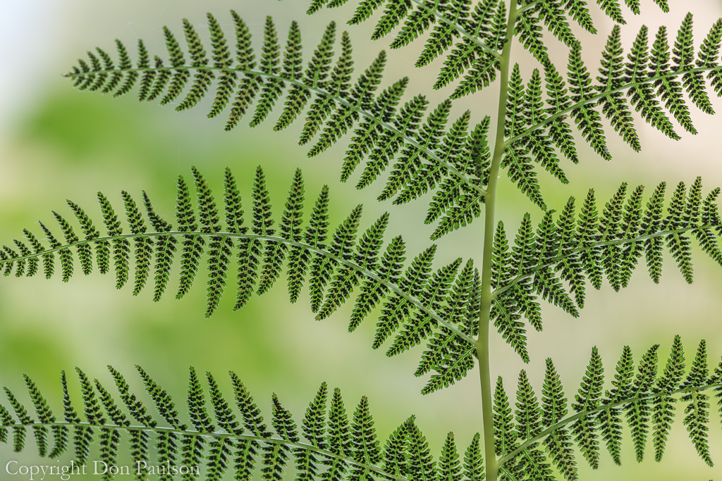 Underside of a Lady Fern
