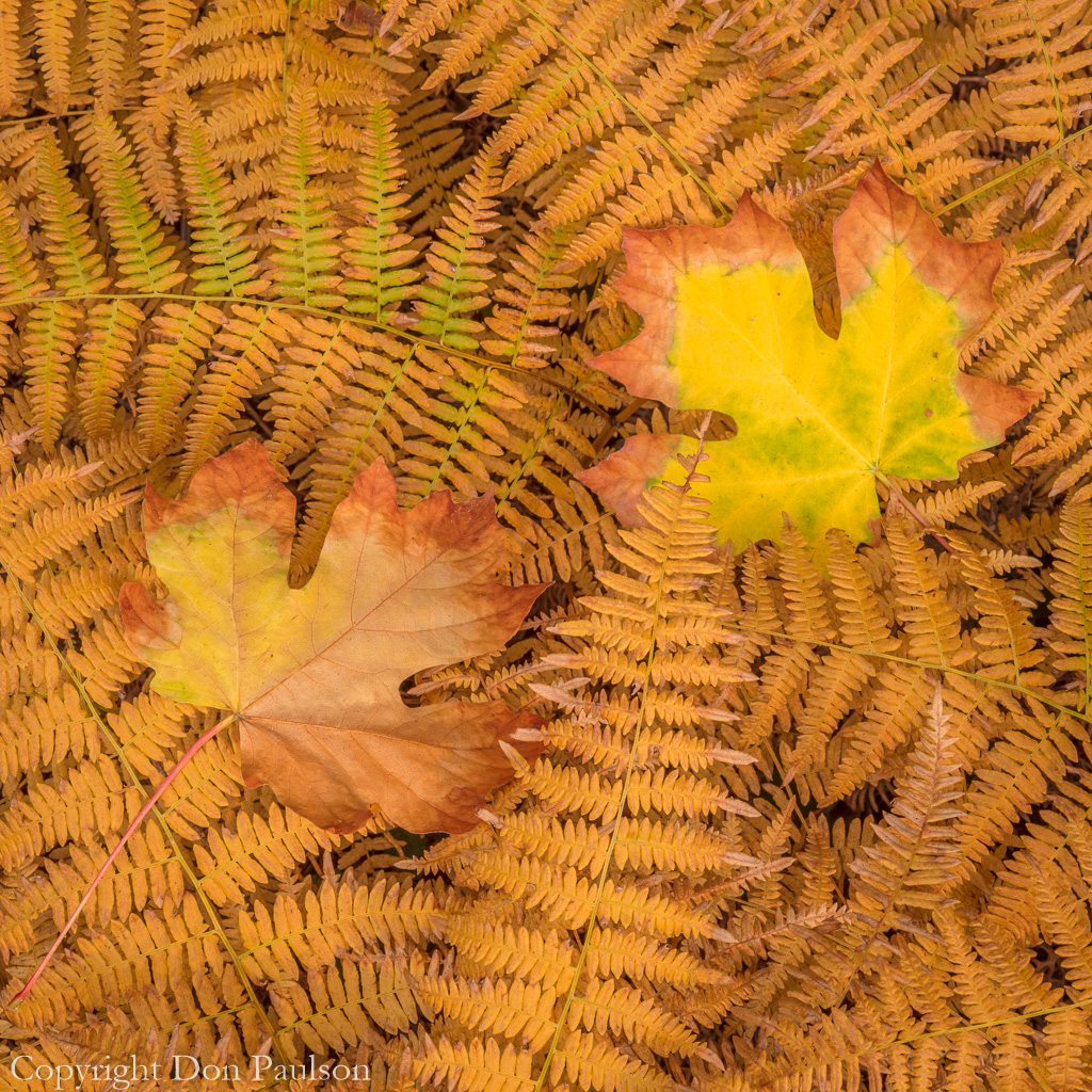 Bracken Ferns and maple leaf in fall