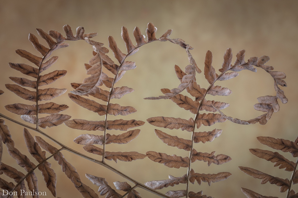Golden Bracken fern in fall - Photographed at 50.6 mega pixels.