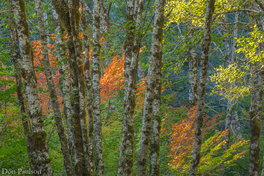 Alder and vine maple forest - Washington, Olympic National Park