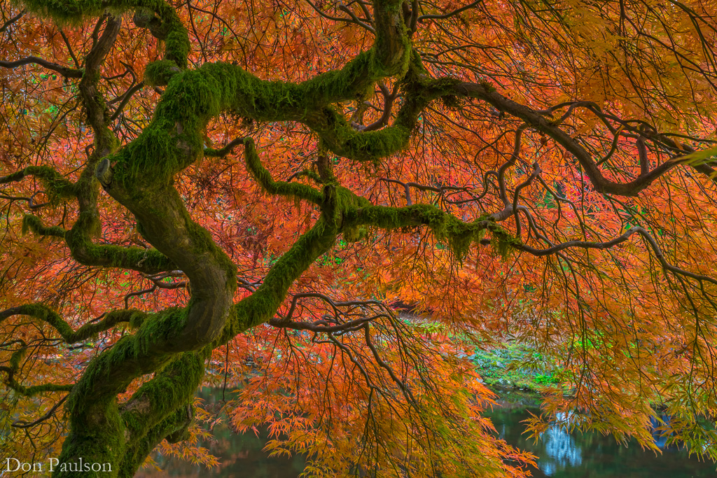 Japanese maple tree in fall - Washington, Bainbridge Island, Bloedel Reserve