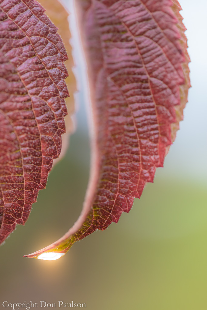 Rain drop on a viburnum leaf
