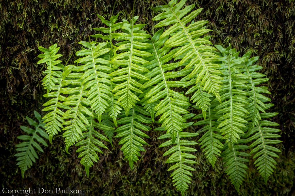 Licorice Fern - Washington, Olympic National Forest