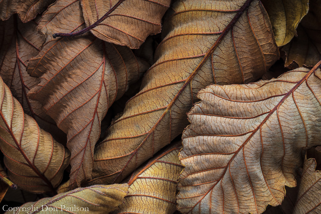 Dried Alder Leaves