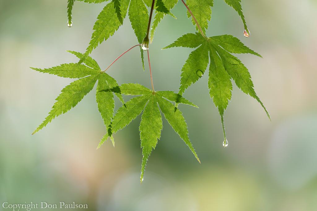 Rain drops on Japanese Maple Leaves