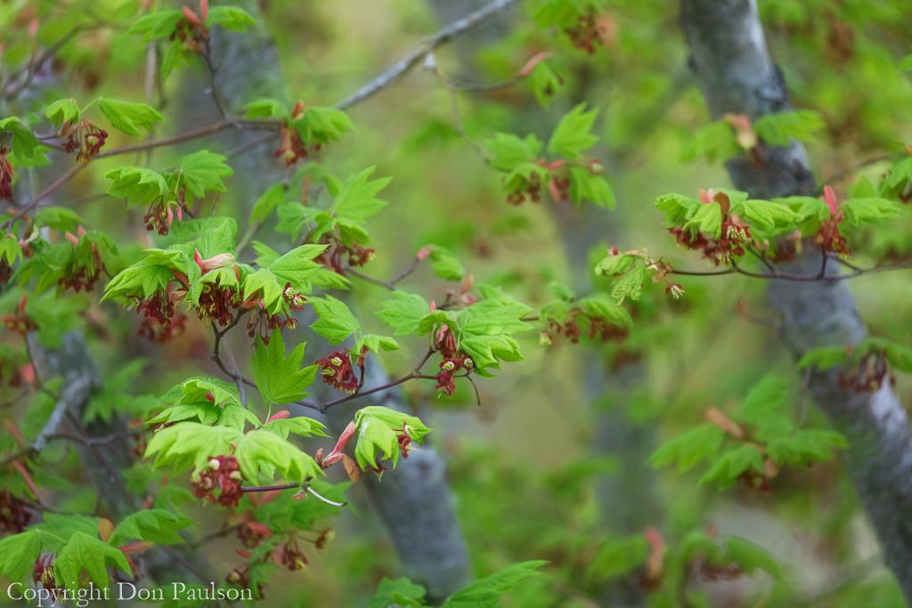 Vine Maple Tree in Spring