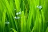 Iris foliage