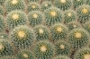 Cactus at Bach's Cactus Nursery, Tucson, AZ