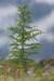 Larch sapling