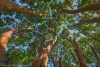Madrone trees