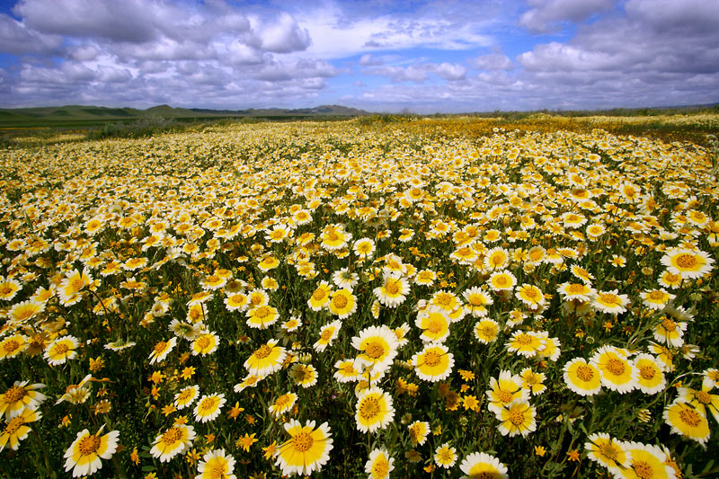 Wildflowers, Carizzo Plain National Monument, California