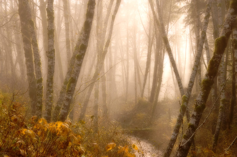 Foggy Alder Forest, Olympic National Park, Washington