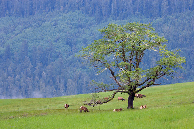 Elk, Redwood National Park, California