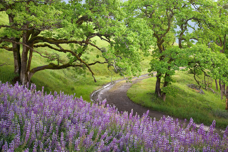 Lupine, Bald Hills, Redwood National Park, California