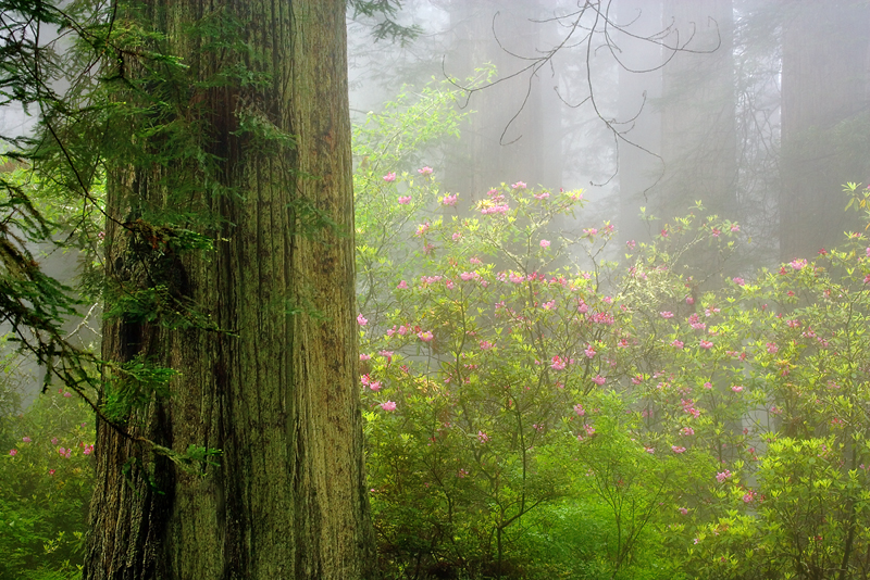 Rhododendron and Redwood Trees in Fog, Del Norte Redwoods State Park