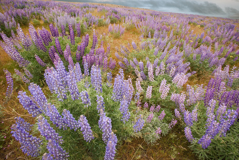 Lupine, Columbia River Gorge, Oregon