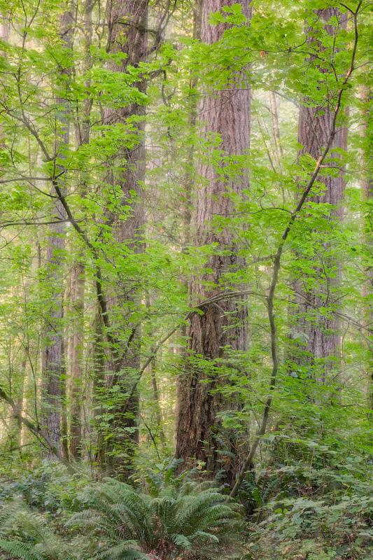 Washington; Battleground; Forest; Vine Maple