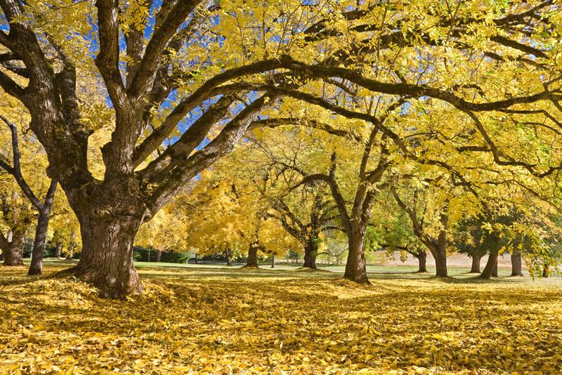 Oregon; Joseph H. Stewart State Park; Walnut trees