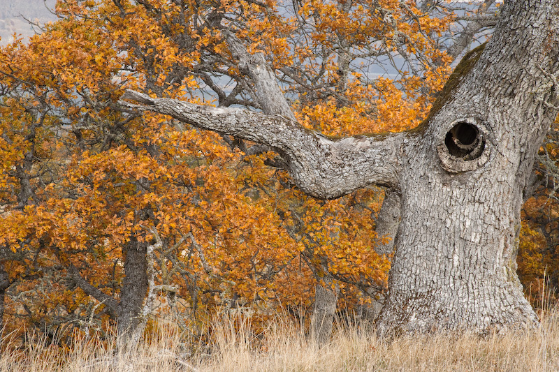 Oregon; Mosier; Columbia River Gorge; Oak Tree