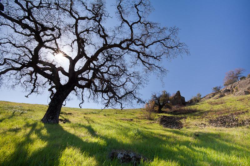 Oak Tree, Black Butte Lake Recreation Area