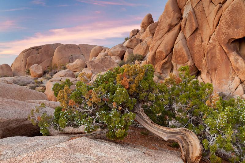 Juniper Tree, Joshua Tree National Park