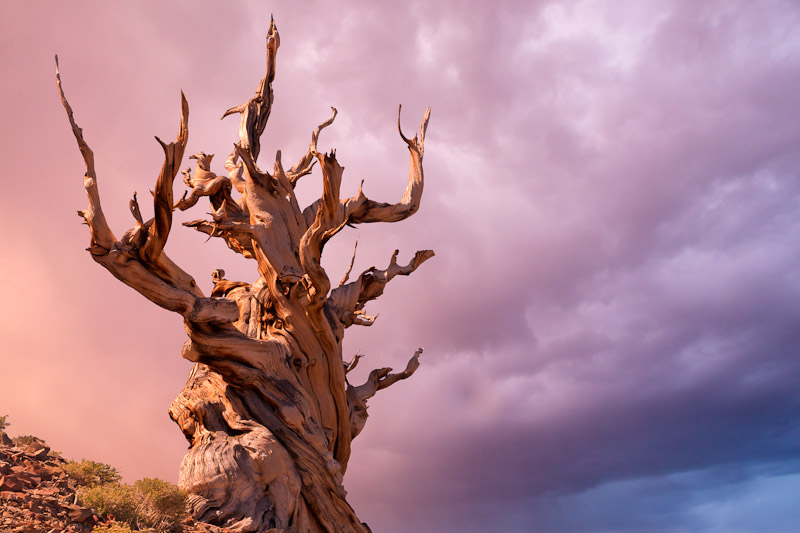 The Sentinel Tree, Ancient Bristlecone Pine Forest, White Mountains Wilderness, Inyo National Forest, California