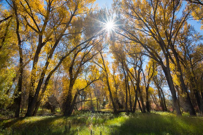 Cottonwood trees, Neversink Trail,  Curecanti National Recreation Area, Colorado