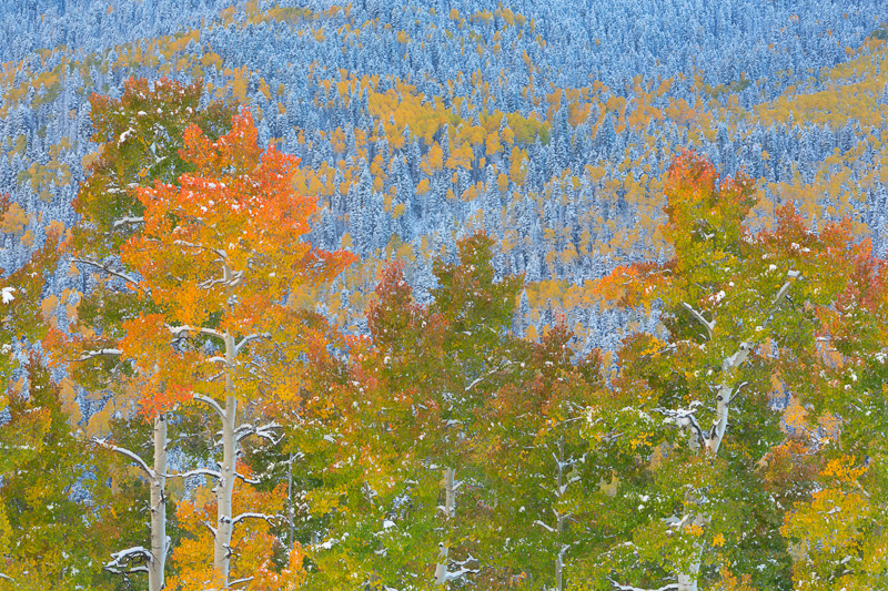 Aspen and conifer forests, Cimarron Road, near Owl Creek Pass, Colorado