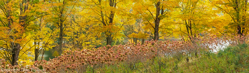 Maple trees and Hydrangeas, Bass Lake, Blue Ridge Parkway, North Carolina. High resolution, multi-image panorama